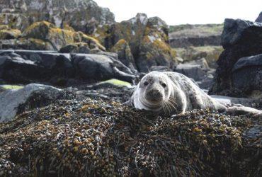 Le foche piu a rischio del mondo una volta chiamavano casa lAustralia kaUAn 1 36